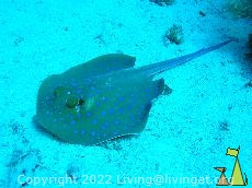 Bluespotted stingray, Red Sea, Egypt, underwater, ray, Bluespotted stingray, Taeniura lymma