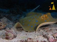 Bluespotted taking off, Red Sea, Egypt, underwater, ray, Bluespotted ribbontail ray, Taeniura lymma