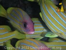 Bluestriped snapper, Thailand, underwater, fish, Shoal, Bluestriped snappers, Lutjanus notatus