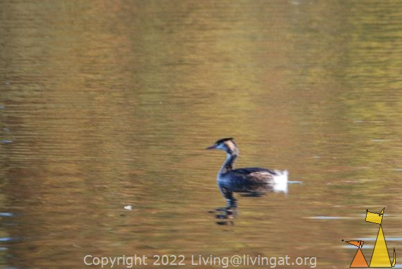 Blury Great Crested Grebe, Djurgården, Stockholm, Sweden, bird, Podiceps cristatus, Great Crested Grebe, autumn colors, blury, out of focus