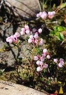 Bog-rosemary on the Rocks, Utsjoki, Finland, plant, flower, Andromeda polifolia, pink