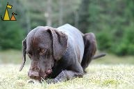 Bone, Landet, Sweden, bone, dog, Troll, Canis lupus familiaris, Deutsch Kurzhaar, Korthårig Vorsteh, German Shorthaired Pointer