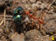 Bringing food home, Banteay Samre, Siem Reap, Cambodia, insect, fly, ant, Red weaver ant, Oecophylla smaragdina, Angkor, Lucilia sp