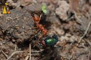 Bringing food home, Banteay Samre, Siem Reap, Cambodia, insect, fly, ant, Red weaver ant, Oecophylla smaragdina, Angkor , Lucilia sp