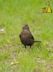 Brown Blackbird, Skeppsholmen, Stockholm, Sweden, bird, Common blackbird, Turdus merula