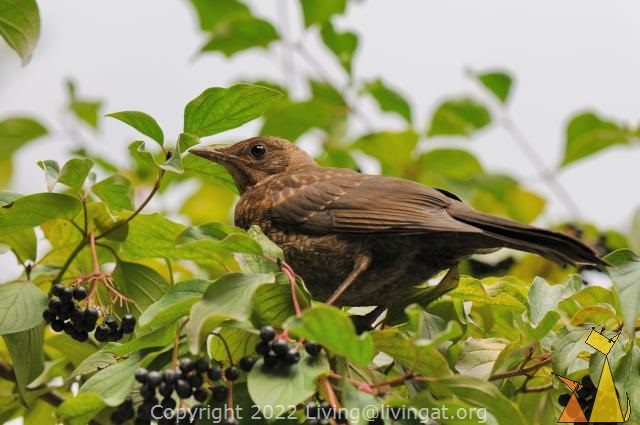 Brown Common Blackbird, Frankfurt, Germany, bird, bush, plant, Cornus sanguinea, Turdus merula