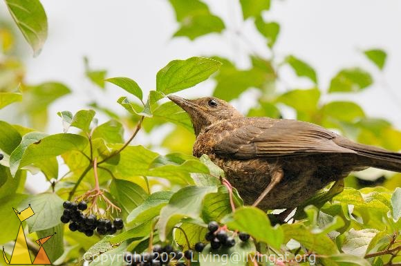 Brown Eyes, Frankfurt, Germany, bird, bush, plant, Cornus sanguinea, Turdus merula