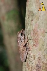 Brown frog, Angkor Tom East Wall, Cambodia, reptile, amphibian, frog, Polypedates leucomystax, Golden tree frog