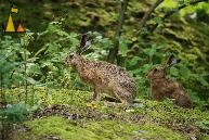 Brown hares, Stockholm, Sweden, European Brown hare, Lepus europaeus