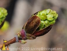 Bursting bud, Angarn, Stockholm, Sweden, tree, plant, bursting, bud, Norway maple, Acer platanoides