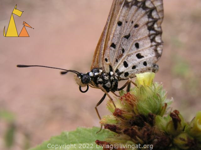 Butterfly, Cape Maclear, Malawi, Macro, Insect, Butterfly, Malawi