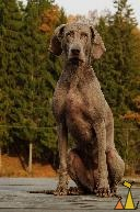 Can't wait II, Landet, Sweden, dog, Canis lupus familiaris, Doris, Weimaraner, The Grey Ghost