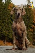 Can't wait, Landet, Sweden, dog, Canis lupus familiaris, Doris, Weimaraner, The Grey Ghost