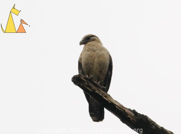 Caracara From Below, Canopy Tower, Panama, bird, bird of pray, Milvago chimachima, scavenger, overcast