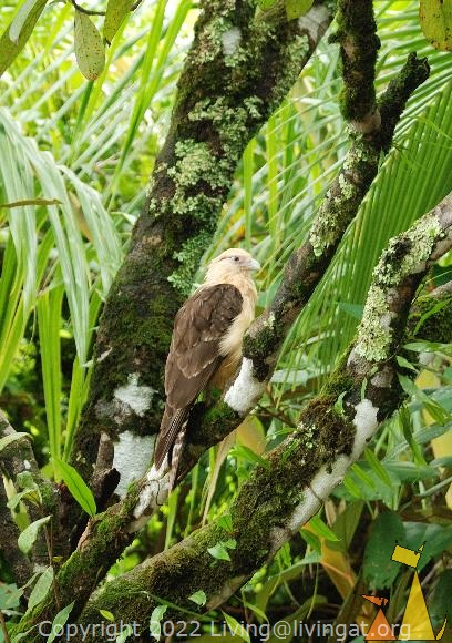 Caracara, Isla Coiba, Panama, bird, tree, bird of pray, Milvago chimachima, Yellow-headed Caracara