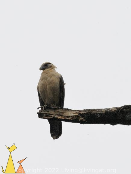 Caracara on a Branch, Canopy Tower, Panama, bird, bird of pray, Milvago chimachima, scavenger, overcast