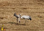Carne pair, Hornborgasjön, Sweden, bird, Grus grus, Common Crane, pair