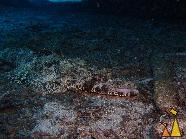 Carpet flathead, Shaab Marsa Alam, Red Sea, Egypt, underwater, fish, Carpet flathead, Papilloculiceps longiceps