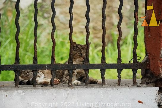 Cat behind bars, Casco Veijo, Panama City, Panama, cat, mammal, Felis catus, fence