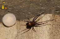 Cave Spider with Nest, Landet, Sweden, insect, spider, European cave spider, Meta menardi, egg sack, nest