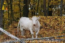 Charolais heifer, Angarn, Stockholm, Sweden, mammal, cattle, Bos taurus, cow, Charolais, heifer, autumn