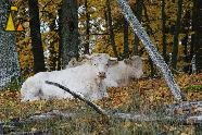Charolais heifers resting, Angarn, Stockholm, Sweden, mammal, cattle, Bos taurus, cow, Charolais, heifer, autumn