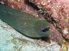 Chestnut Moray in the Rocks, Isla Coiba, Panama, underwater, fish, moray, Gymnothorax castaneus