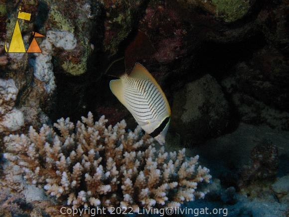 Chevron butterflyfish, Red Sea, Egypt, underwater, fish, Chevron butterflyfish, Chaetodon trifascialis
