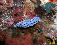 Chromodoris willani, Philippines, underwater, nudi, Chromodoris willani