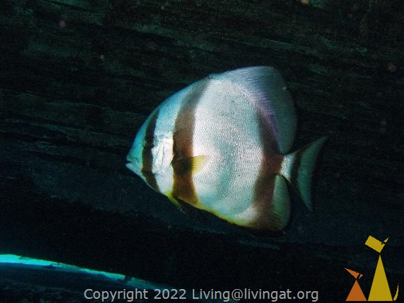 Circular bat, Red Sea, Egypt, underwater, fish, Circular spadefish, Circular batfish, Platax orbicularis