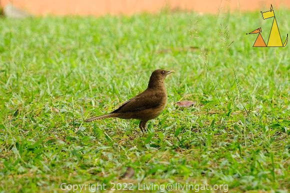 Clay-colored Thrush, Panama City, Panama, bird, green, lawn, Turdus grayi