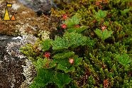 Cloudberry Flowers, Karlebotn, Norway, plant, flower, Rubus chamaemorus