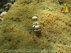 Clown shrimp, Madagascar, Anemone Shrimp, Clown shrimp, Periclimenes brevicarpalis, Madagascar