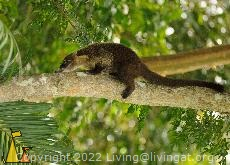 Coati in a tree, Panama Canal, Panama, mammal, tree, White-nosed coati, Nasua narica