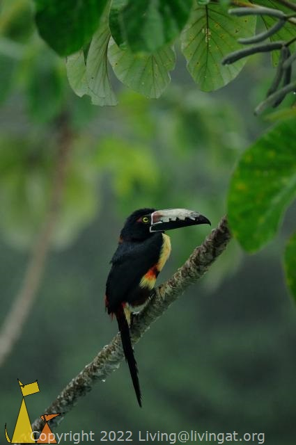 Collared Aracari, Cannopy Tower, Panama, bird, Guinness, Collared Aracari, Pteroglossus torquatus