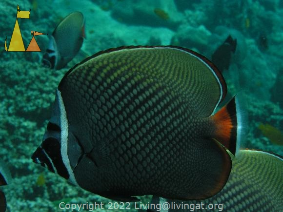 Collared butterfly, Racha Yai, Thailand, Underwater, Collared butterflyfish, Chaetodon collare