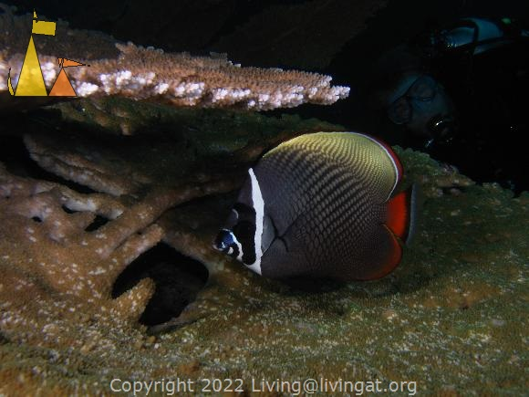 Collared butterfly, Similan, Thailand, underwater, fish, Collared butterflyfish, Chaetodon collare