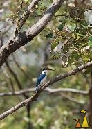 Collared kingfisher, Krabi, Thailand, bird, kingfisher, Collared kingfisher, Todiramphus chloris
