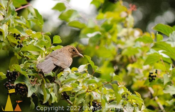 Common Blackbird From Behind, Frankfurt, Germany, bird, bush, plant, Cornus sanguinea, Turdus merula
