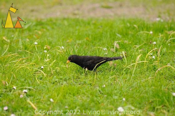 Common Blackbird, Skeppsholmen, Stockholm, Sweden, bird, Common blackbird, Turdus merula