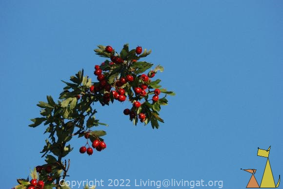 Common Hawthorn with fruit, Djurgården, Stockholm, Sweden, plant, fruit, blue skyes, Common Hawthorn, Crataegus monogyna
