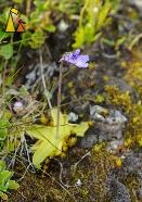 Common butterwort, Utsjoki, Finland, flower, meat eater, Pinguicula vulgaris