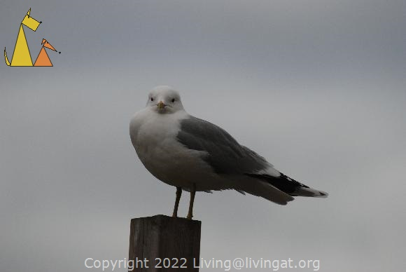 Common gull, Stockholm, Sweden, bird, Common gull, Larus canus