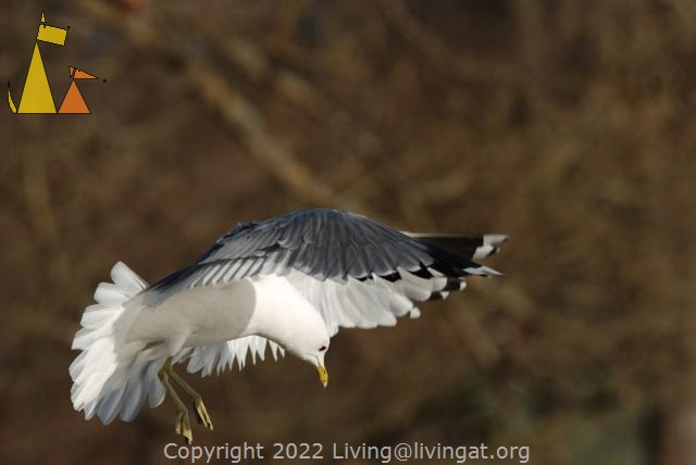 Common gull, Stockholm, Sweden, bird, flying, Common gull, Larus canus