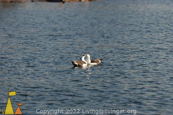 Common gulls, Stockholm, Sweden, bird, flirting, Common gull, Larus canus