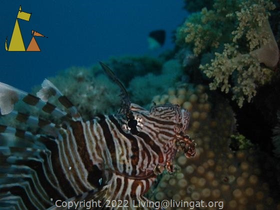 Common lionfish, Red Sea, Egypt, underwater, fish, Common lionfish, Pterois volitans