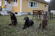 Concerned Koffi, Landet, Sweden, dog, Canis lupus familiaris, Doris, Weimaraner, The Grey Ghost, Koffi, Troll