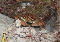 Coral crab, Red Sea, Egypt, underwater, crustacean, Variable coral crab, Carpilius convexus