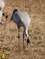 Crane bending over, Hornborgasjön, Sweden, bird, Grus grus, Common Crane