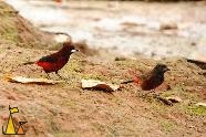 Crimson-backed Tanagers, Isla Coiba, Panama, bird, red, Ramphocelus dimidiatus, clay, ground, pair